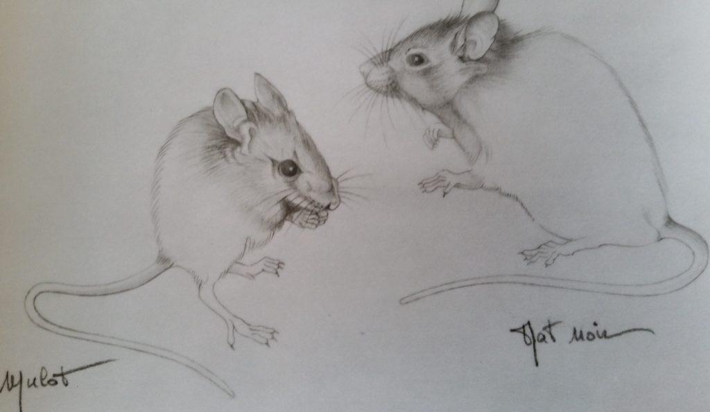 33-1994 mulot,rat noir étude